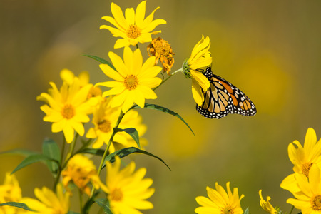 danaus: Monarch Butterfly feeding from Compass plants in a prairie in Wisconsin. Stock Photo