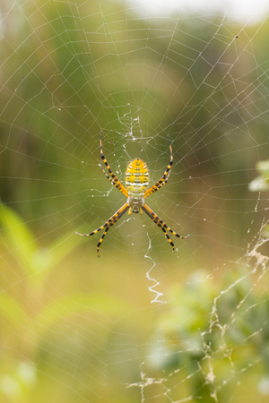 orb weaver: Banded Garden Spider on its web in a prairie in Wisconsin.
