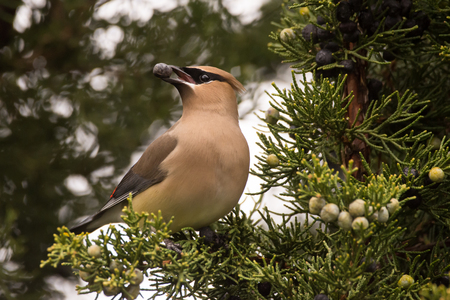Cedar Waxwing feeding on Juniper berries during spring migration. Imagens - 77427973