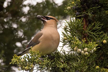 Cedar Waxwing voeden op Juniperbessen tijdens de lente migratie.