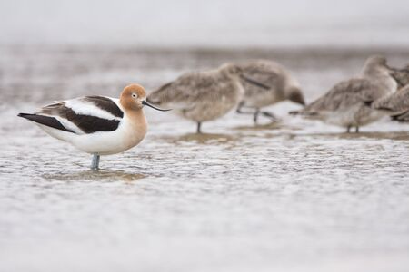 American Avocet and Willets on a beach during spring migration.