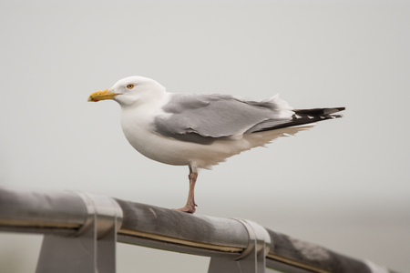 Herring Gull perched on a bridge at Lakeshore State Park in Wisconsin.