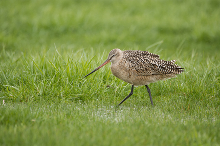 Marbled Godwit feeding in a field at Lakeshore State Park during spring migration. Reklamní fotografie