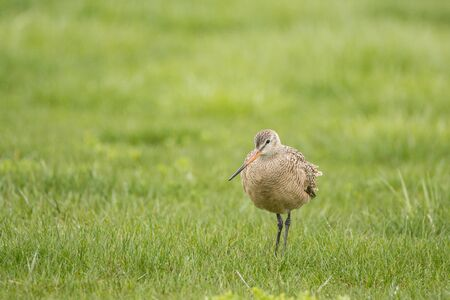 Marbled Godwit feeding in a field at Lakeshore State Park during spring migration. Stock Photo
