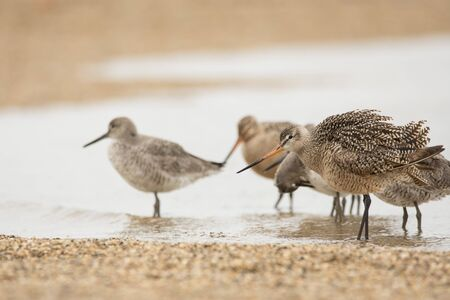 Marbled Godwits and Willets on a beach during spring migration. Stock Photo