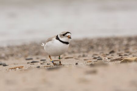 A Piping Plover seen on a beach in Wisconsin during its migration. Stock Photo