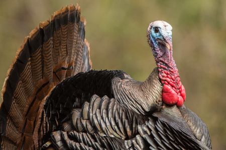 Wild Turkey on display trying to attract a hen to mate with.