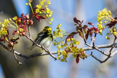 A Black-throated Green Warbler perched on a branch during spring migration in Wisconsin.