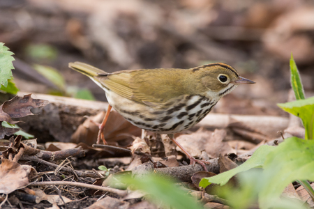 An Ovenbird on the move during spring migration.