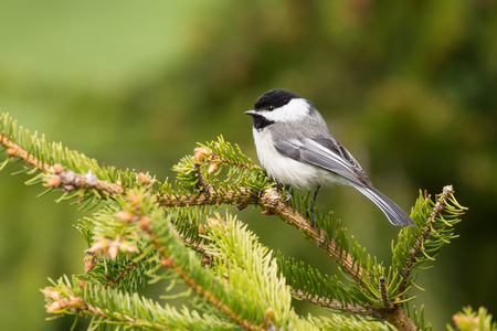 A Black-capped Chickadee perched in a fir tree during spring migration.