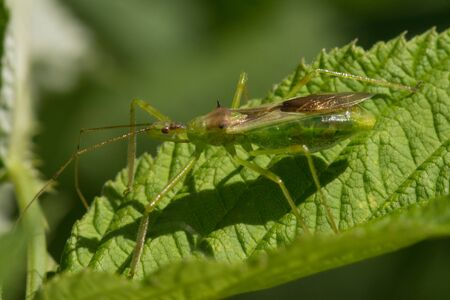 A Pale Green Assassin Bug, Zelus luridus waiting on a raspberry leaf. Stock Photo