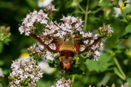 A Hummingbird Clearwing Moth feeding from some flowers. Stock Photo