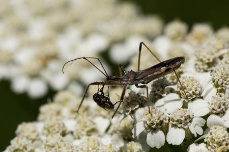 yarrow: A Four-spurred Assassin Bug preys on a fly on yarrow flowers.