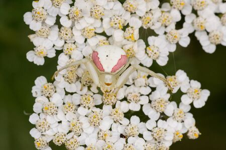eight legs: A Goldenrod Crab Spider waiting for prey on some yarrow flowers.