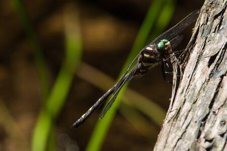 An Arrowhead Spiketail Dragonfly perched on a tree near a creek. Stock Photo