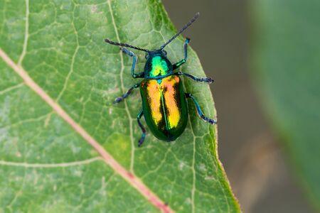A Dogbane Beetle on a Dogbane Plant in Door County, Wisconsin. Фото со стока
