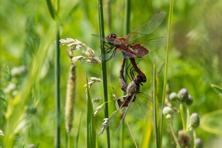 A pair of mating Red Saddlebags dragonflies in the wheel. Фото со стока