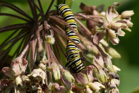 A Monarch Caterpillar instar eating from a milkweed plant. Фото со стока
