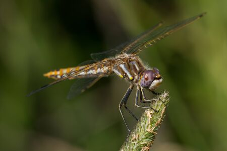A Variegated Meadowhawk dragonfly perched on a some grass.