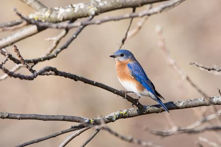 An Eastern Bluebird perched in a tree in winter.