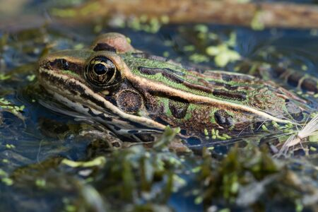 A Northern Leopard Frog floating in a pond in Wisconsin.