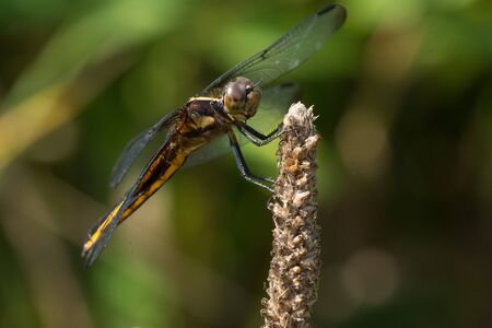 A Widow Skimmer dragonfly perched on a plant.