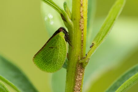 A Two-striped Planthopper on a plant in a prairie.