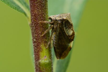 A Two-horned Treehopper on a plant in a prairie. Фото со стока