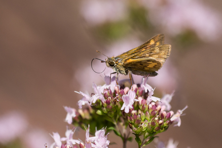 Fiery Skipper Butterfly feeding on nectar from a flower. Фото со стока