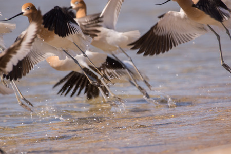American Avocets taking off from a beach on Lake Michigan.