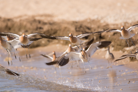 American Avocets coming in for a landing on a beach.