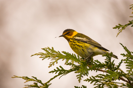 A Cape May Warbler looking at a bug that its about to eat.