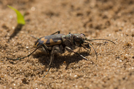 A Big Sand Tiger Beetle on a sandy trail in the Kettle Moraine.