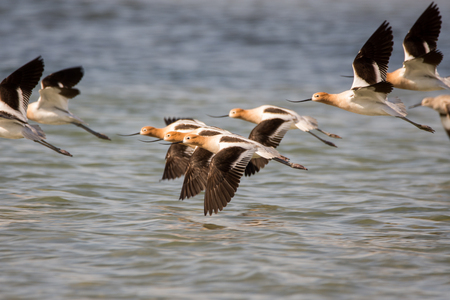 American Avocets flying over the water in Wisconsin.