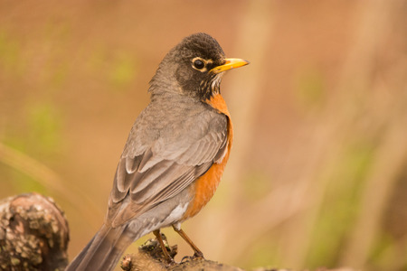An American Robin perched on a log during spring migration. Фото со стока