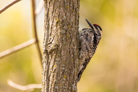 A Yellow-bellied Sapsucker perched on a tree during spring migration.