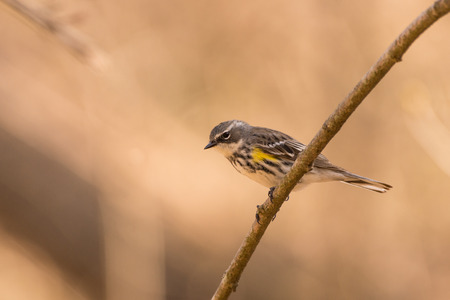 A Yellow-rumped Warbler perched on a branch during spring migration.