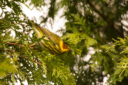A Cape May Warbler perched on a branch during spring migration.