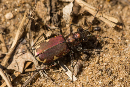 A Festive Tiger Beetle on a sandy trail in the Kettle Moraine.