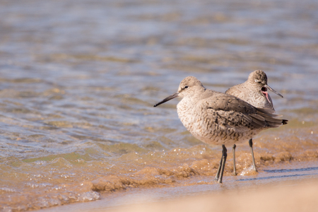 Two Willets on a Lake Michigan beach.