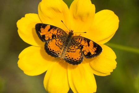A Pearl Crescent butterfly feeding from a Lance-leaved Coreopsis flower.