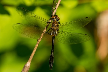 A Racket-tailed Emerald hanging from a perch in a bog.