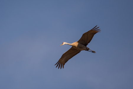 Flying Sandhill Crane during spring migration in Wisconsin. Фото со стока