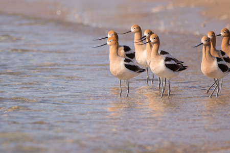 American Avocets standing in the water on a beach.