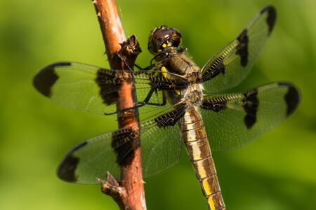 A close-up of a Common Whitetail dragonfly in Wisconsin.