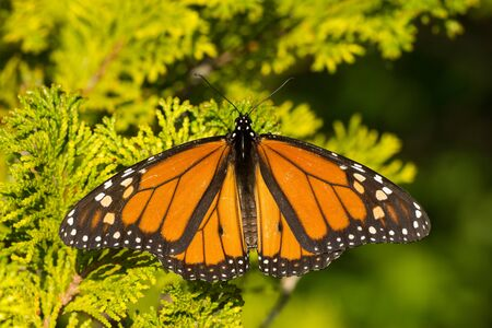 A Monarch Butterfly sunning itself on a tree. Stock fotó