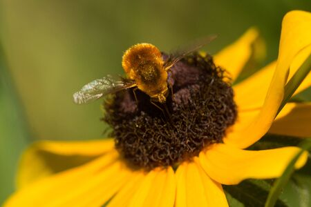 A Grasshopper Bee Fly, Systoechus vulgaris feeding from a Black-eyed Susan wildflower.
