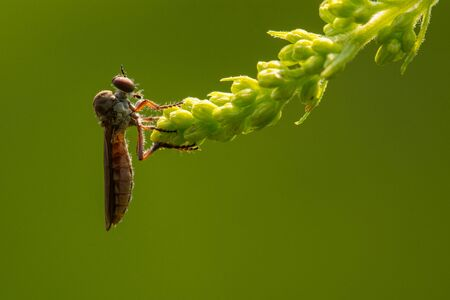 A robber fly perched on a plant waiting for prey.