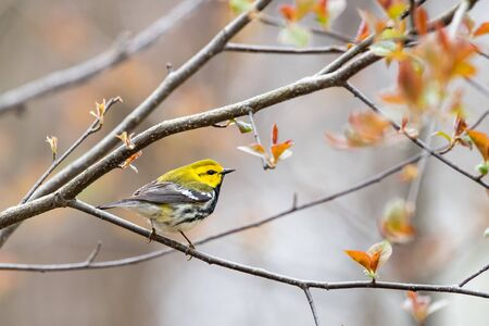 Black-throated Green Warbler perched on a branch during spring migration.