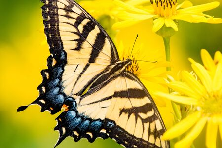 Eastern Tiger Swallowtail feeding from a Compass plant.
